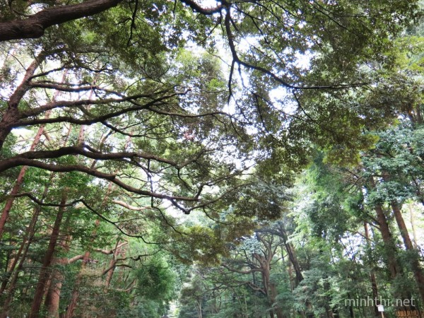 Rừng cây xanh mát bao phủ đền Meiji