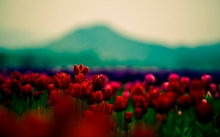 red_buds_flowers-wide
